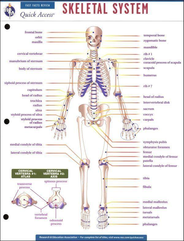 Printables High School Art Worksheets Human Body Skeletal System