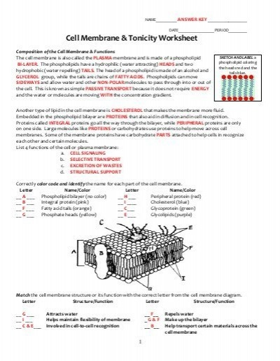 Cell Transport Worksheet Answers