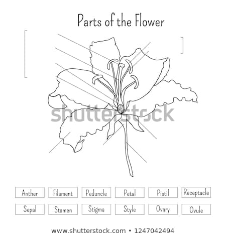 Parts Flower Worksheet Black White Lily Stock Vector (royalty Free