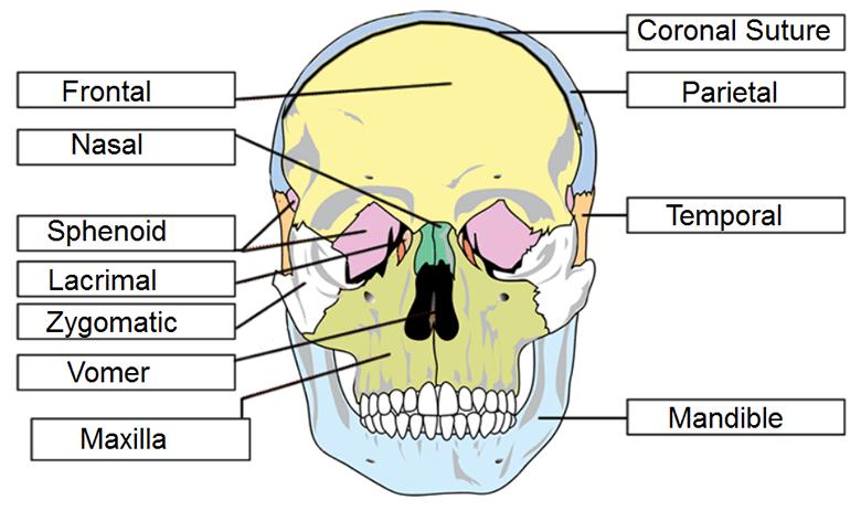 Skull Labeling