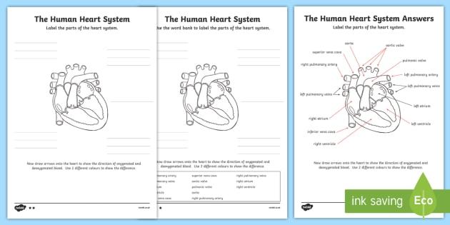 The Human Heart Cardiovascular System Labelling Worksheet   Worksheet