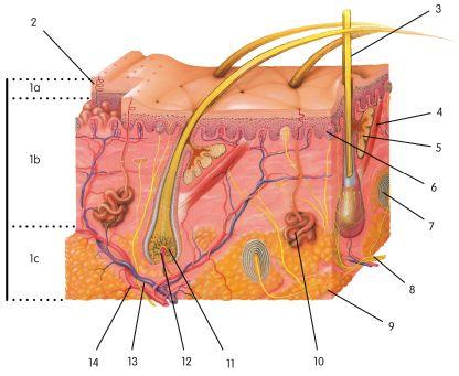 Skin Layer Diagram Worksheet
