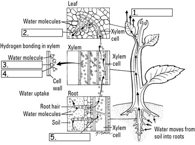 How Plants Pull And Transport Water
