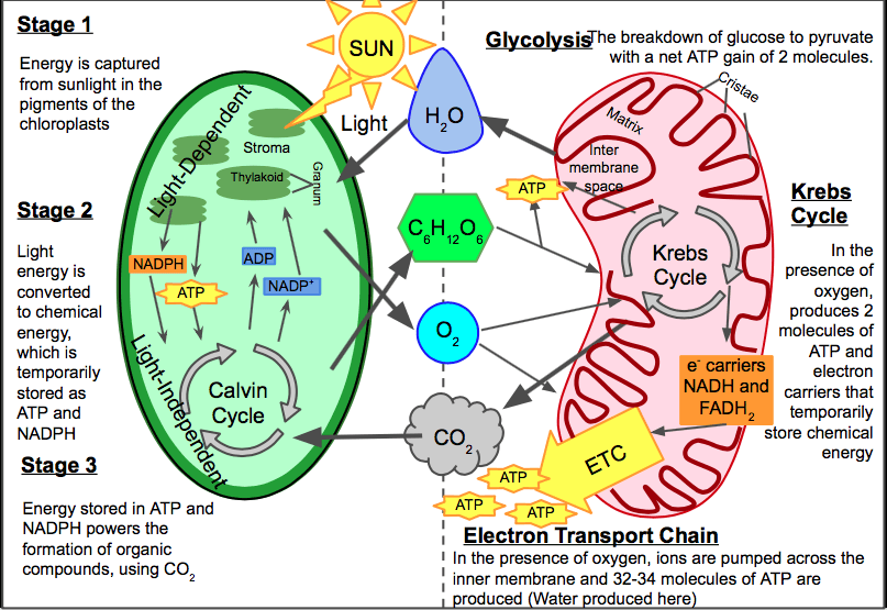 Image Result For Worksheets For Calvin Cycle