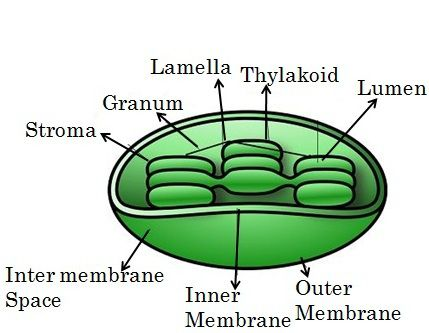 Difference Between Mitochondria And Chloroplast (with Comparison