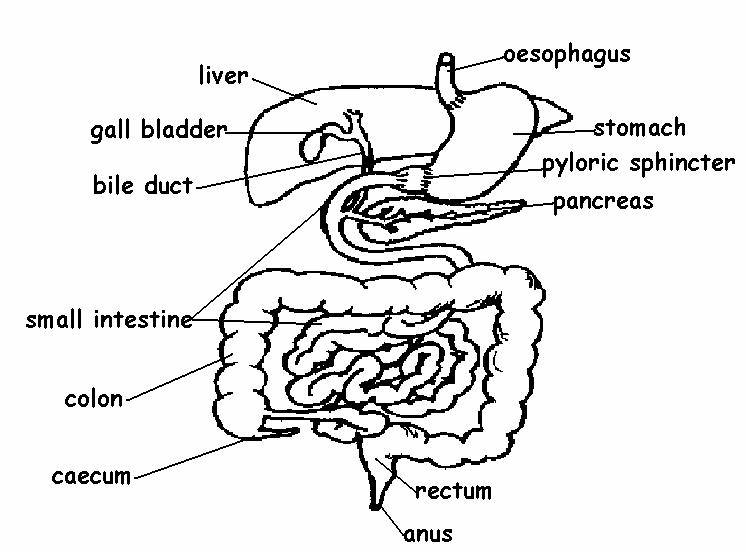 The Anatomy And Physiology Of Animals Digestive System Worksheet