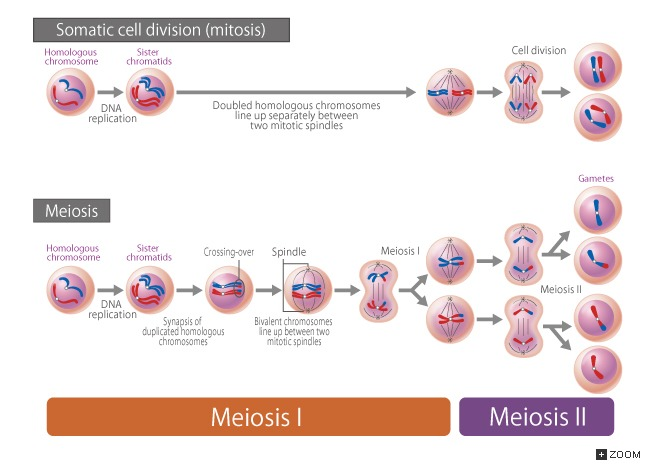 18 2 Somatic Cell Division (mitosis) And Meiosis