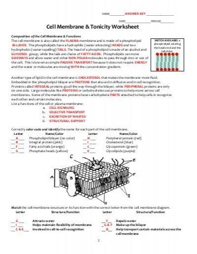 Cell Membrane Coloring Worksheet Key