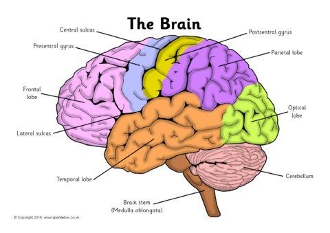 Label The Brain Worksheets (sb11585)