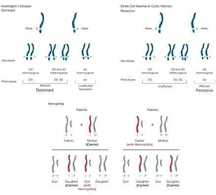 Mendelian Genetics Worksheets Answers – Morningknits Com
