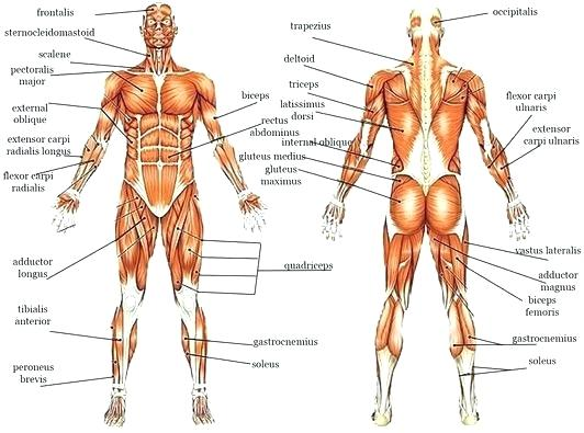 Muscle Labeling Worksheets – Odmartlifestyle Com