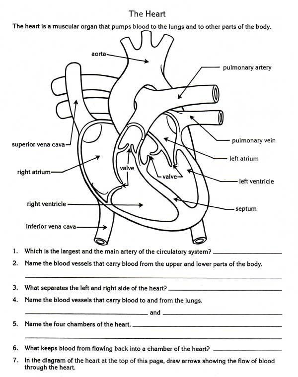 Free Parts Of The Heart Worksheets Describe The Function Of The Rh