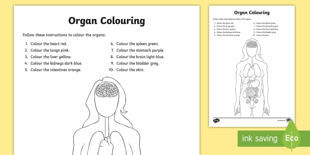 Organs Coloring Worksheet   Worksheet