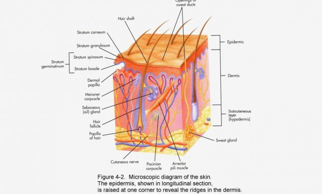 Skin Anatomy Diagram Worksheet Skin Diagram Anatomy – Skin