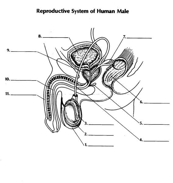 Male Reproductive System Diagram Worksheet