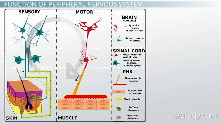 Peripheral Nervous System  Definition, Function & Parts