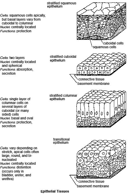 Epithelial Tissue Worksheets Answers