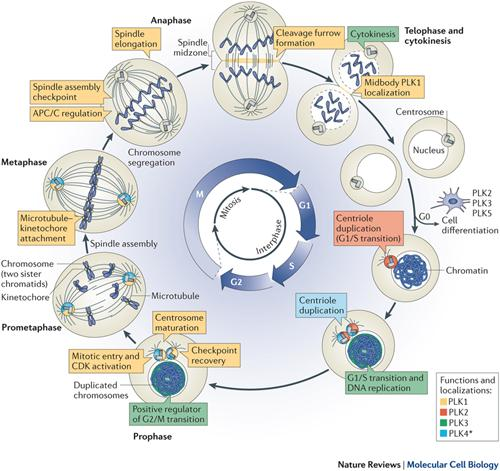 Burgess, Lauren   Unit 5  Dna And Cell Cycle