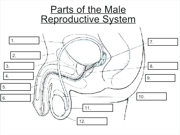 Reproductive System Worksheets And Answer – Onourway Co