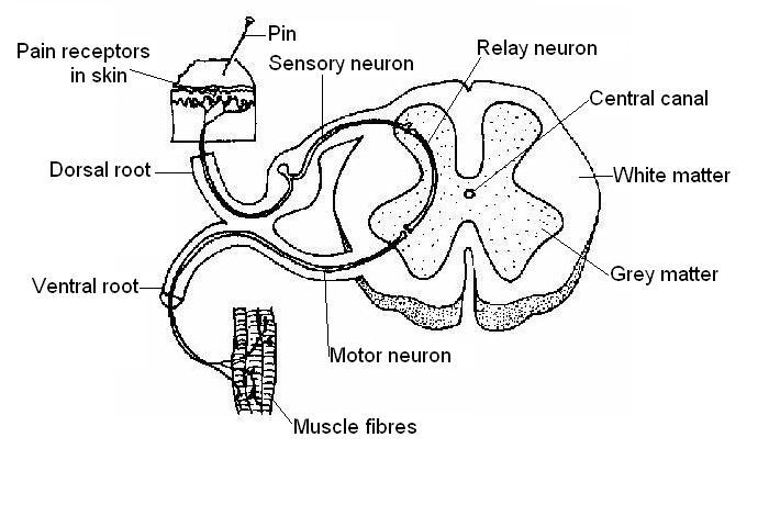Nervous System Worksheet Answers