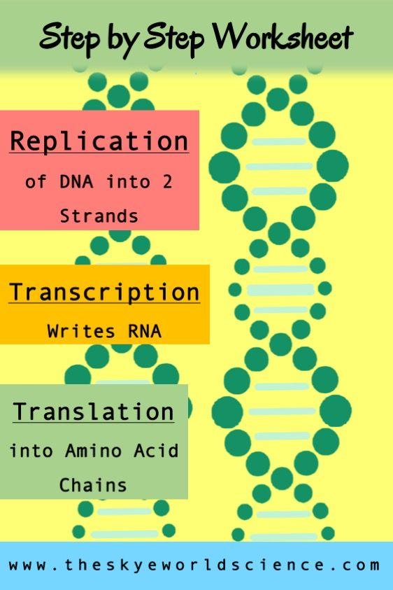 Replication, Transcription, And Translation Worksheet