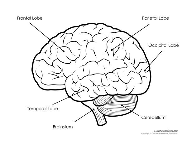 Human Brain Diagram – Labeled, Unlabled, And Blank