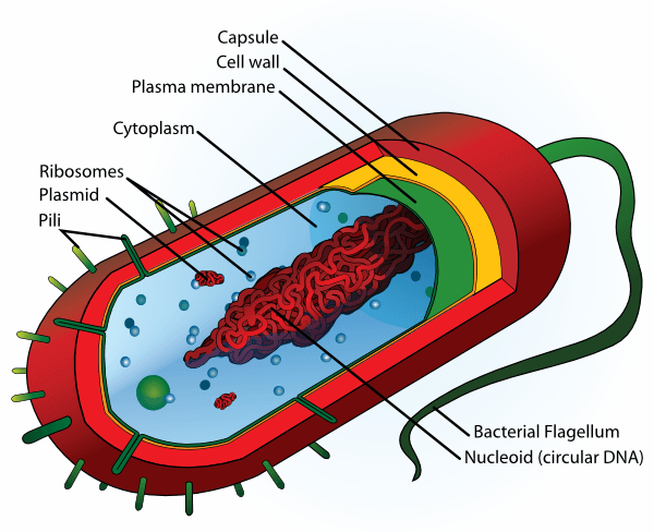 Bacteria Diagram Worksheet