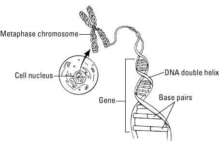 Genetics For Dummies Cheat Sheet