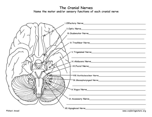 Cranial Nerves Worksheet