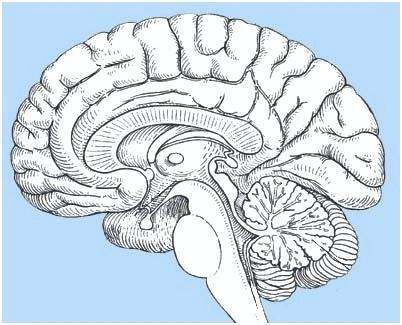 Simple Brain Diagram Blank