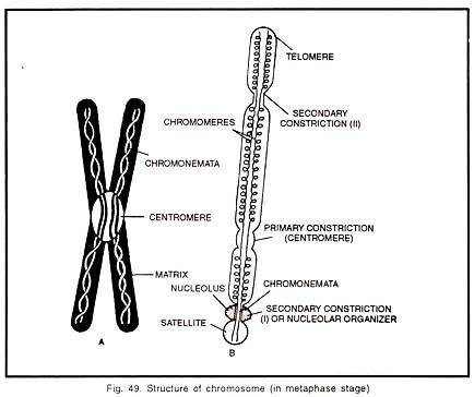6 Main Parts Of A Chromosome