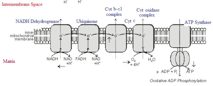 7  Electron Transport Chain