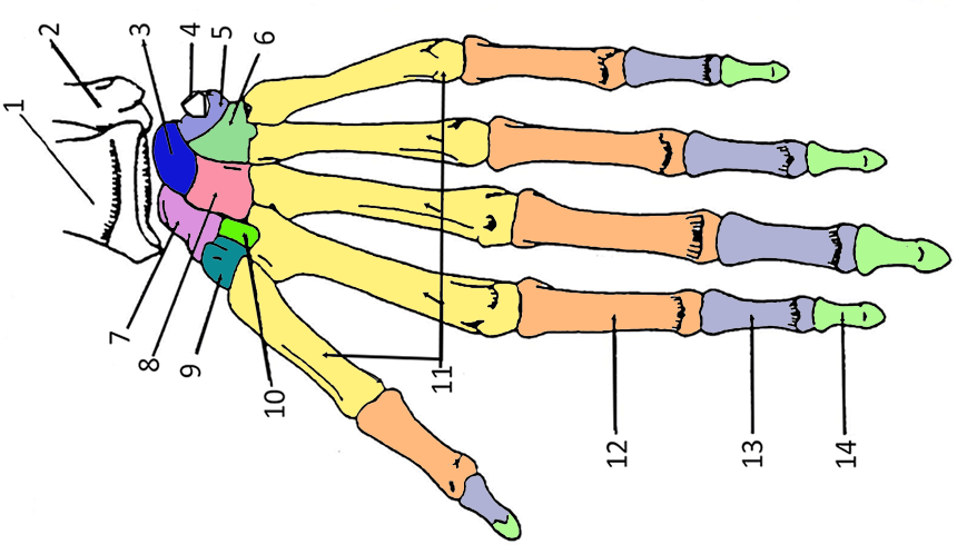 Color The Bones Of The Hand