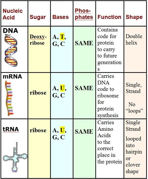 Curran, Thomas   Dna And Protein Synthesis Worksheet Key