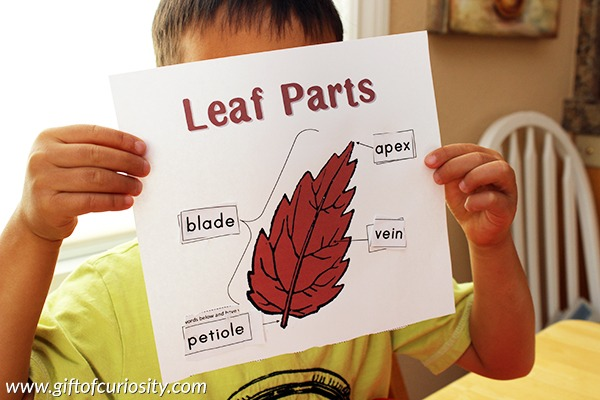 Learning About Leaf Parts And Shapes