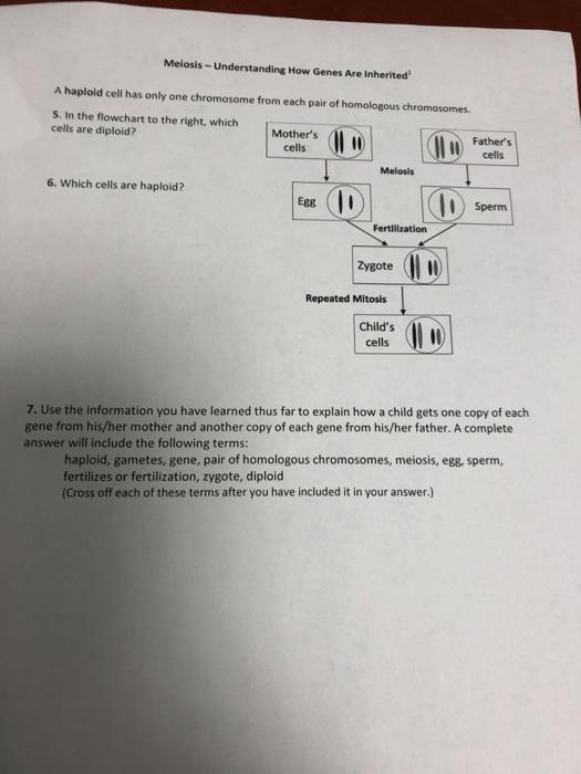 Solved  Meiosis