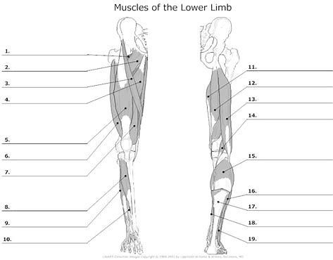 Image Result For Anatomy Muscle Labeling Worksheet