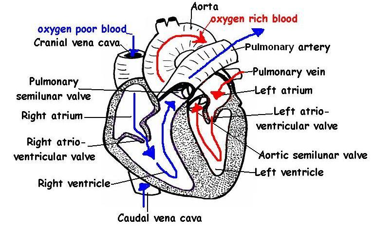 The Anatomy And Physiology Of Animals Heart Worksheet Worksheet