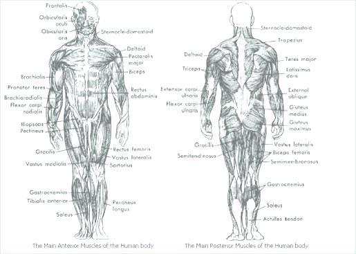 Printable College Anatomy Worksheets Muscles – Westcoastgroup Co